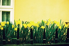 Roll 2 - Yellow (Cris Ward) Tags: street camera old city uk flowers orange plants streets flower color colour green slr london film yellow rollei analog 35mm vintage living daylight spring lomo xpro lomography warm cross bright britain crossprocess grain slide retro crossprocessing daffodil april analogue manual blooms noise processed e6 yashica blown colorshift lsi c41 2013 yashicafxd colorreversal cr200 lomolab digibase rolleidigibasecr200