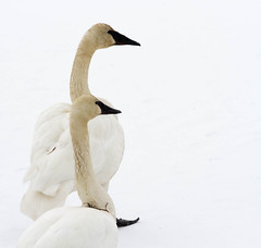 White on White (yukonchris) Tags: winter wild white snow canada ice nature birds wildlife pair north southern yukon swans together migratory snowing wilderness northern mates whiteonwhite genre snowscape necks beaks cygnus trumpeterswans northof60 ef400mm cygnini canon7d whitehorsesouthernlakesregion
