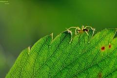 A flanc de montagne (bertrand kulik) Tags: france macro insecte araigne feuille 71760 issylevque