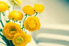Ranunculus (✿ ❀ ❁ Anna Loves Photography ❁ ❀ ✿) Tags: flowers light summer italy sun flower macro nature yellow canon garden spring italia buttercup ranunculus yellowflowers naturephotography macrolens canonlens flowerphotography
