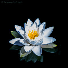 Waterlily (12bluros) Tags: city white flores flower water floral yellow pond flora waterlily magic nights 1001 onblack