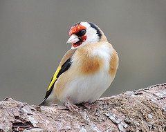sma birds 003 goldfinch (ivorrichardk) Tags: sparrowhawksmabirds