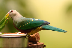 Fruit Dove (Eric Kilby) Tags: park bird boston fruit zoo franklin dove magnificent