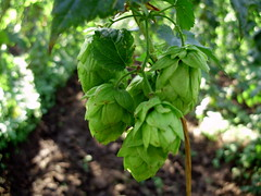 Chmel (Saint Vincent Van Miroslav) Tags: nature field fruit pole hops chmel obil penice jemen