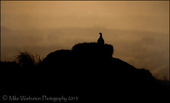 `Solitude` (Mike Warburton Photography) Tags: mountain nature birds wales sunrise canon landscape dawn wildlife sigma moor redgrouse 50d