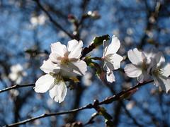 Winia wczesna (ela_s) Tags: cherry spring blossom sakura krakw wiosna kwiecie signofspring prunusincisa ogrdbotaniczny kwiatwini canons90 kojunomai winiawczesna