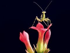 IMG_0126 (thienbs) Tags: macro mantis thienbs