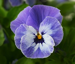 Pansy (Liisamaria) Tags: perfectpetals beautifulblossoms natureislife worldofflowers sognidreams awesomeblossoms oneflowerperday saariysqualitypictures unforgettableflowers photossansfrontiéres flowersorinsectsmacro naturescarousel flowerthequietbeauty aimesvouslesfleurs asingleflowers