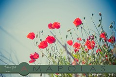 it's poppy time again (ana.gr.) Tags: color nature spring poppy amapolas ababoles