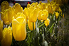 More Yellow (A Great Capture) Tags: road street city flowers toronto ontario canada color colour green cars nature yellow drive spring downtown tulips pop fresh east bloor springtime on ald ash2276 ashleyduffus
