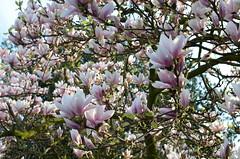 Magnolia (JaapCom) Tags: camera flowers flower 35mm lens four nikon seasons digitale 4 natuur magnolia flowering van lente bloesem bloemen jaap bloem voorjaar bloei jaargetijden wezep bloeien werven d5100