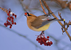 Waxwing Berry Delivery System (Fort Photo) Tags: winter snow bird nature birds animal berry nikon colorado berries wildlife birding fortcollins co toss ornithology waxwing cedarwaxwing throw mountainash larimer d300 bombycillacedrorum passeriformes bombycillidae