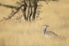 Kori Bustard Foraging in Long Grass (Wizard of Wonders) Tags: africa bird grass walking african wildlife beak feathers dry crest flats longneck plains koribustard foraging longgrass bustard etoshapan largebird etoshanationalpark largestflyingbird southafricanbirds