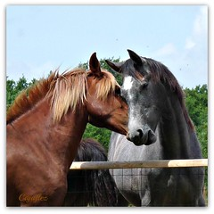 One from the archive, taken some years ago. (Cajaflez) Tags: portrait horses animal ngc portret dier paarden thegalaxy 100commentgroup saariysqualitypictures mygearandme mygearandmepremium mygearandmebronze mygearandmesilver mygearandmegold mygearandmeplatinum blinkagain rememberthatmomentlevel1 sunrays5 vigilantphotographersunite