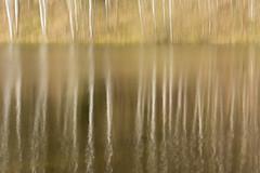 reflected birches (Monique vd Hoeven) Tags: lake reflection spring meer belgie ardennen birches icm reflectie voorjaar berken thierache intentionalcameramovement regniessart