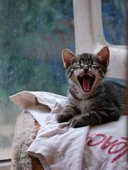 Il Ruggito (Silvana Maresca) Tags: cats kitty natura gato felino gatto animale gatito micio gattino ruggito micino