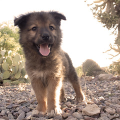 Grizzly Bear the 7 Week Old Chow Puppy (Immature Animals) Tags: arizona rescue baby brown sun white black cute animal tongue yard puppy fur happy mutt mix tucson tan adorable az front marshall glorious derek bark chow paws chowchow koalition derekmarshall barktucson