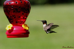 Male Ruby Throated Hummingbird (Diane Marshman) Tags: red white male green bird flying hummingbird small flight feathers feeder ruby throat in throated