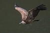 Griffon Vulture (Gyps fulvus) (PeterQQ2009) Tags: birds spain monfragüe gypsfulvus griffonvulture