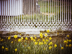 fence friday (nyah74) Tags: flowers yellow wall bar fence bars istanbul railing daffodils dolmabahcepalace dolmabahe palacegarden fencefriday