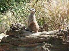 edinburgh zoo (carryfiasco) Tags: zoo meerkat edinburgh