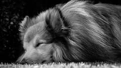 _DSC1608 (Phreepie3) Tags: bw dog jack sheltie