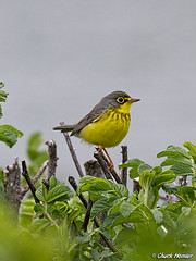 Canada-Warbler-Rugosa (texmextele) Tags: sea canada nature birds rose colorful wildlife maine rosa chuck warbler biddeford rugosa cutre canadensis yorkcounty warblers biddefordpool wilsonia homler