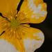 flower, Gold-Hahnenfuß, Hammelrain, Lens Nikon 105mm f-2.8G IF-ED AF-S VR Micro Nikkor, macro, Markgröningen, Nissin MF18 Ring Flash, Ranunculaceae, ranunculus auricomus.jpg