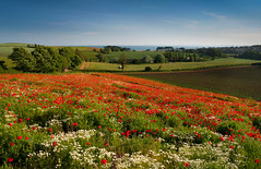 East Devon poppyscape (snowyturner) Tags: flowers trees red colour field landscape coast spring day clear devon poppies budleighsalterton
