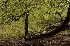 Wood Art (MrBlackSun) Tags: morning france sunrise early nikon deer parc roe roedeer auvergne forez naturel parcnaturel d810 livradois nikond810 livradoisforez parcnaturelregionallivradoisforez