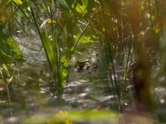 Labyrinth (Ian M Bentley) Tags: uk england macro death spider northampton web arachnid olympus hunter predator labyrinth trap funnel omd wellingborough greatbritian m43 eightlegged funnelwebspider funnelweb agelenidae em5 summerleys microfourthirds zuiko1250mm halffullsize