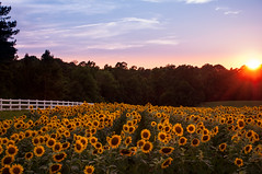 sunflower abundance (Ginny Williams Photography) Tags: sunflower sunflowers field raleigh northcarolinaphotographer northcarolinafineartphotographer northcarolina sunset sky yellow whitefence summer july landscape pretty flowers nature beautiful neuserivergreenway sunflowerfield secret garden abundance neuserivergreenwaytrailsunflowers researchtrianglepark wakecounty nc photographer fine art landscapes sun sunlit sunburst orange light naturallight fallslakedam trees forest clouds cloudy