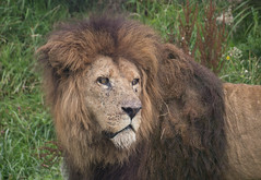 Mr Magnificence (Deborah S-C (InTheFairyGarden) playing catch-up!) Tags: aug2016 gorgeous southlakessafariandzoo kingofthejungle magnificentmale beautifulboy lion mane behind glass fencing