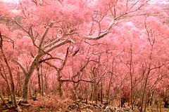 Trees on Black Mountain - visible and infrared light (Konrad Lenz) Tags: tree trees infrared ir blackmountain canberra act australiancapitalterritory photographybykonradlenz