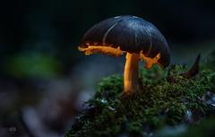 ...Nachtlicht... (rhonz.photo) Tags: pilz pilze wald natur wildlife fungi moos canon m3 tamron 90mm stacking