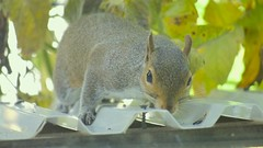 squirrel birdfeeder baffle