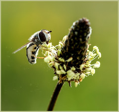 Yummie pollen (kevingrieve610) Tags: hoverfly insectg wings nature summer 2016 canon 6d ef100mm macro