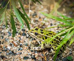 Northern Leopard Frog (Wild Birdy) Tags: frog amphibian ranapipiens rana leopard leopardfrog northernleopardfrog mn minnesota usa northern wild animal wildlife cute bokeh rocks pebbles grass leaves spots spotted meadowfrog