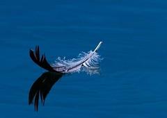 Waterdrop sailors (Robert Ron Grove 2) Tags: feather water waterdrops lake sailors robertgrove