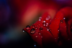 Rainy rose 500px.com/photo/170223629/ (KT.pics) Tags: 500px rose abstract beautiful close up drops fine art flower ktpics macro nature rain rainy day red plant moody atmosphere simple background gorgeous  dark pure waterdrops raindrops fantasy deep colors freshness closeup fineart rainyday