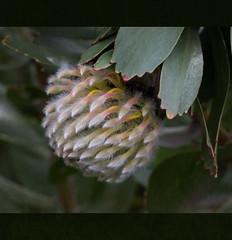 Waratah (B.M.K. Photography) Tags: waratah flower flora textured closeup native leaf