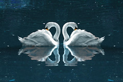 Mutual love (s_gulfidan) Tags: saariysqualitypictures swan water reflection lake 200faves