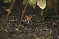 My Garden Wood Mouse (defblow) Tags: wood mouse mice nature critters day garden cute bbc summerwatch