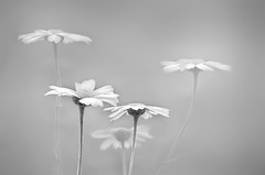 Bailarinas en la niebla / Dancers in the fog (hequebaeza) Tags: naturaleza nature florasilvestre vegetacin vegetation flores flowers ptalos blanco white amarillo yelow petals margaritas daisies bw monocromo nikon d5100 nikond5100 55200mm hequebaeza