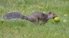 Thief! (Polytelis) Tags: juglansnigra blackwalnut nut squirrel stealing running sciuruscarolinensis
