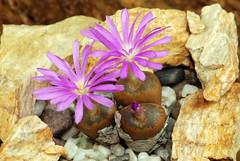 22 septembre 2016 - Conophytum lithopsoides subsp. koubergense RR1077 (Mafate79) Tags: 2016 conophytumlithopsoidessubspkoubergense conophytumlithopsoidessspkoubergense conophytumlithopsoides koubergense rr1077 conophytum aizoaceae aizoaces aizoace mesemb mesembryanthemaceae mesembryanthemaces mesembryanthemace plante fleur sectionpellucida elk