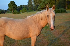 Golden Good Morning! (hapsnaps) Tags: hapsnaps hampshire newforest 2016 summer deerleap newforestpony golden earlymorningsun earspricked doyouhaveanythingforme horsewhispering loh naturethroughthelens