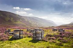 Beeline for Braemar (Neillwphoto) Tags: morrone braemar hills cairngorms bees beehive heather scotland sunny