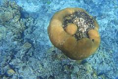 Reef detail (Sven Rudolf Jan) Tags: snorkelling corals tufi papuanewguinea