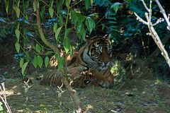 Sumatran Tigers 0009 (ros.wood) Tags: animals wildanimals sumatrantiger zooanimals nikon 18200nikonvriilens nikon1v3 v3 ft1 london